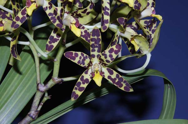 FIRST DIVISION:  Ansellia africana .......... Grown by Trevor Hutchison