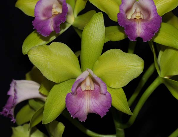 FIRST DIVISION:  Blc Hawaiian Passion Kermie .......... Grown by Margaret and Murray Page