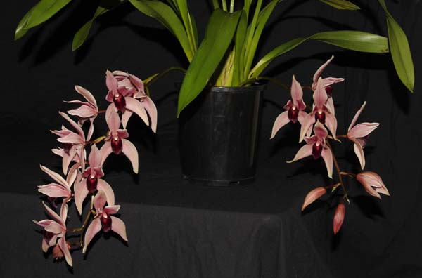 FIRST DIVISION:  Cym Devon Odyssey .......... Grown by Vicky and Neil Cooper