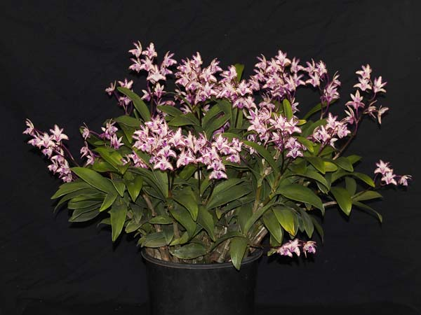 SECOND DIVISION:  Den Victorian stripes x Victorian Flare .......... Grown by Peter and Helen Haltis