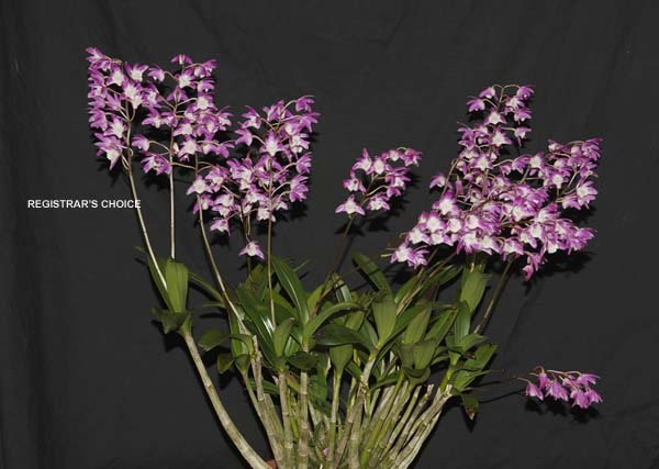 SECOND DIVISION:  Dend Aussie Springtime x Ellen x kingianum  ..........  Grown by Sarka Lazmika