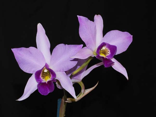 SECOND DIVISION:  L anceps var Chamberlains  ..........  Grown by K Sharman