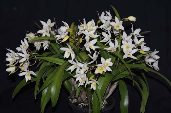 SECOND DIVISION:  Ledienara .......... Grown by B Semmens