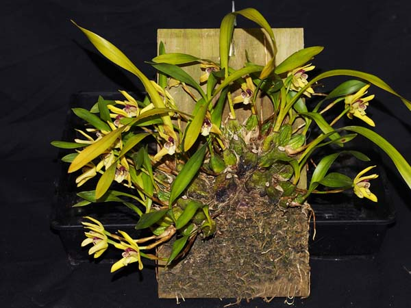 FIRST DIVISION:  Maxillaria crysantha .......... Grown by Andrew Bird