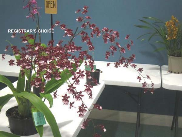 OPEN DIVISION:  Oncidium Sharry Baby .......... Grown by Lesley & Bob Gunn
