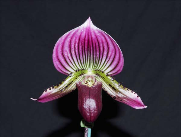 SEEDLING:  Paph Hung Sheng Red x Shin Yi Heart  ..........  Grown by Ellen and Max Hume