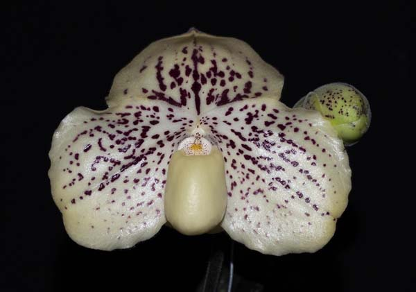 SEEDLING:  Paph godefroyae .......... Grown by Michael Willoughby and Oui Ju