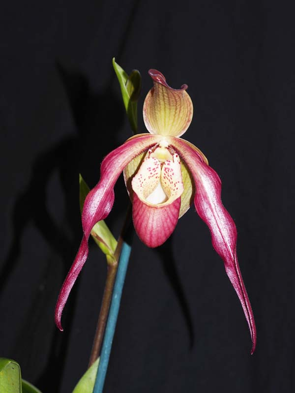 OPEN DIVISION:  Phrag Fliquet  ..........  Grown by D and J Higgs