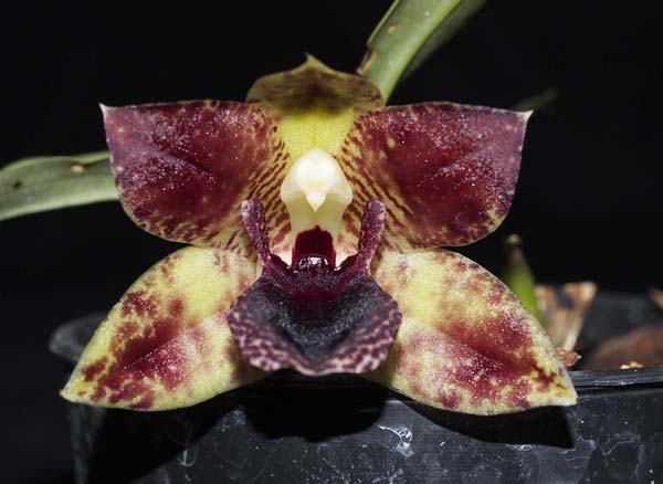 SEEDLING: Prom Drayton Gold x stapeliordes .......... Grown by Jane & Don Higgs