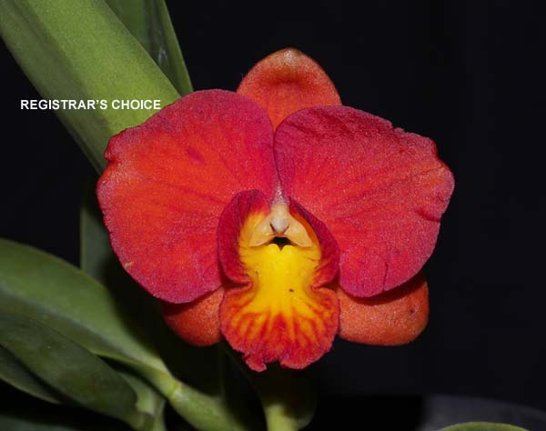 FIRST DIVISION:  Rhyncattleanthe Rosella's Dark Jewel ..........  Grown by B and S Brand