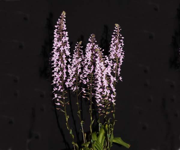 SECOND DIVISION:  Sten longifolia .......... Grown by Peter Haltis