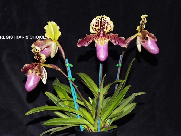 OPEN DIVISION:  Paph henryanum .......... Grown by Michael Willoughby and Oui Ju