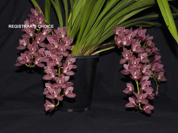 FIRST DIVISION:  Cym Phar Lap Geyserland  ..........  Grown by Trevor Hutchinson