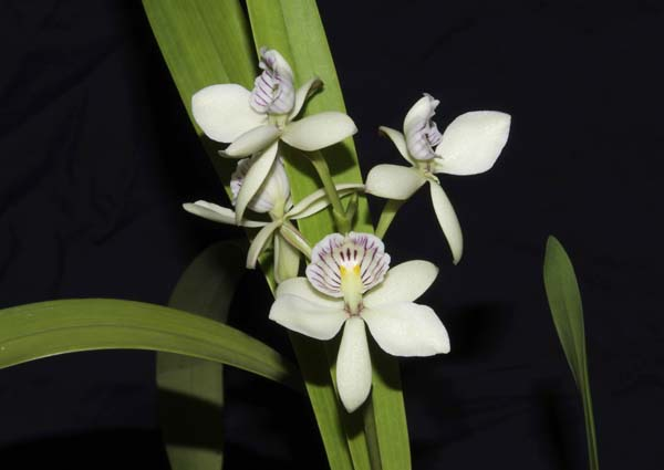 SECOND DIVISION:  Prosthechea radiata  ..........  Grown by Rayne Riggs