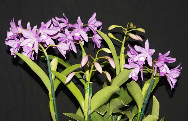 SECOND DIVISION:  Cattleya Kew  ..........  Grown by J & D Cassar