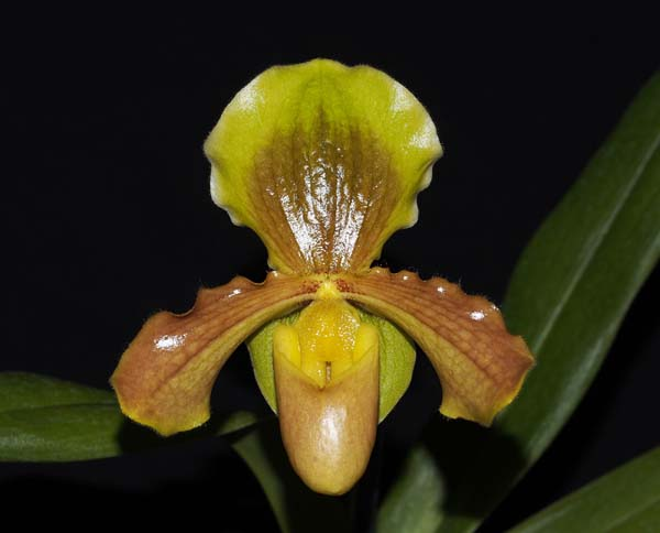 FIRST DIVISION CHAMPION:  Paph Magic Mood x primulinum .......... Grown by Andrew Bird