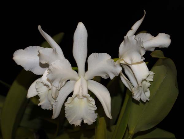 SECOND DIVISION:  C Louise Georgianna .......... Grown by Diana Bird