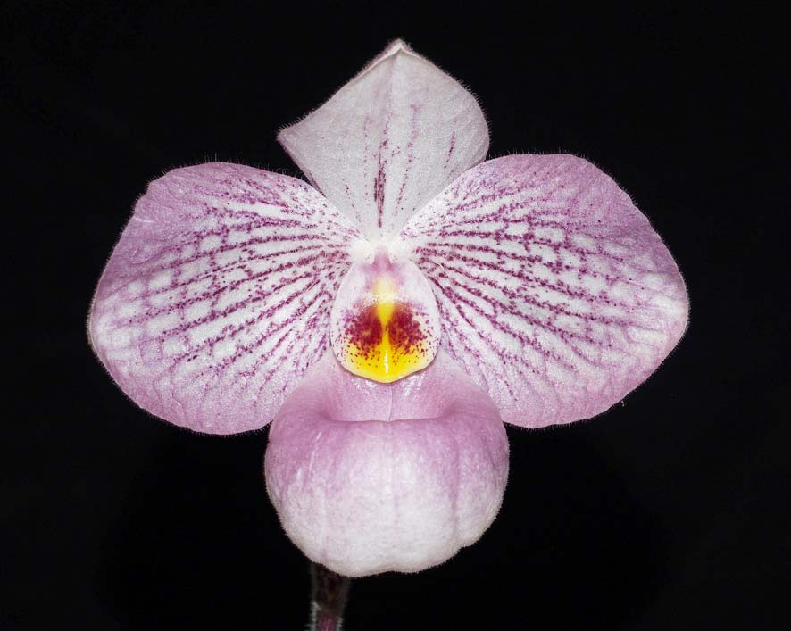 SEEDLING:  Paph Magic Lantern .......... Grown by M Willoughby and Oui Ju
