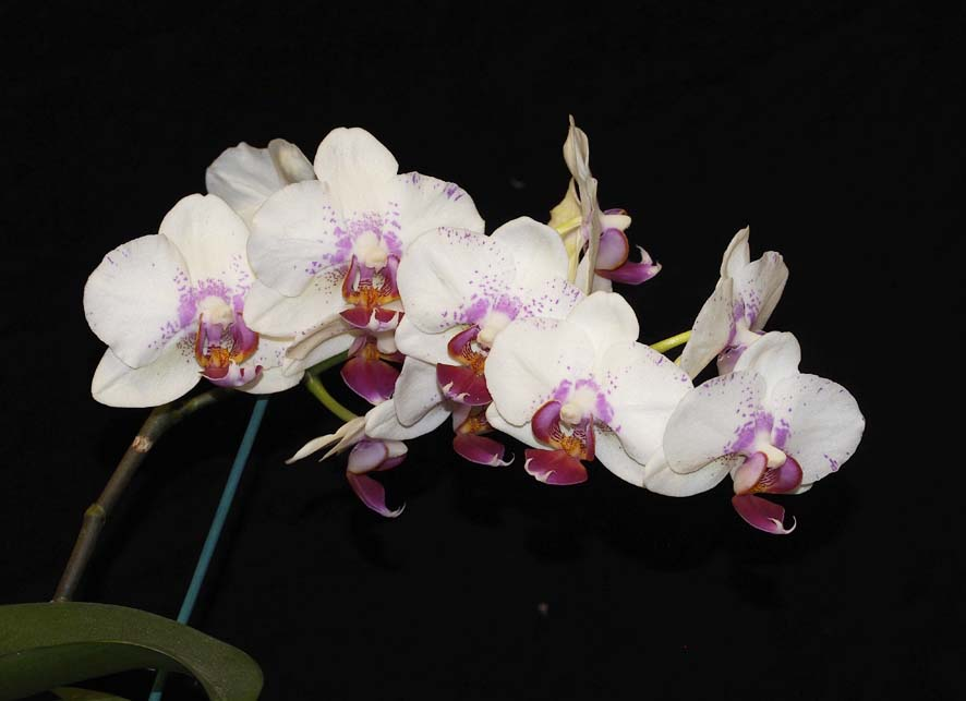 FIRST DIVISION:  Phal Prima Piano .......... Grown by Phil and Anne Steer