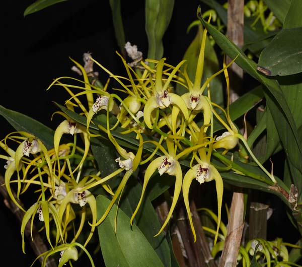 OPEN DIVISION: Den Hilda Poxon .......... Grown by Michael Willoughby and Oui Ju