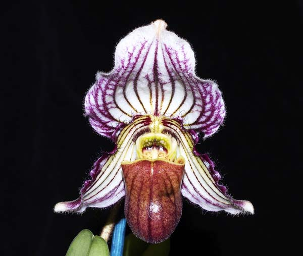 SEEDLING:  Paph fairreanum  ..........  Grown by Michael Willoughby and Oui Ju