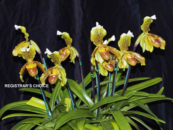FIRST DIVISION:  Paph insigne  ..........  Grown by J and R Dunn